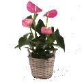 Resplandor rosa: anthurium rosa