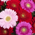 Colourful Cocktail: Pink and red gerberas