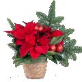 Vicino al Cuore: Poinsettia e Albero di Natale
