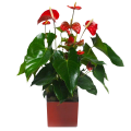 Red Delight: Anthurium