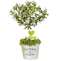 Symbol of Peace: Miniature Olive Tree