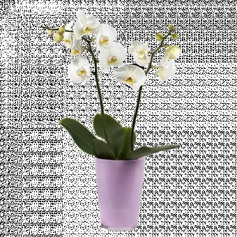 Un Tocco Classico: orchidea bianca