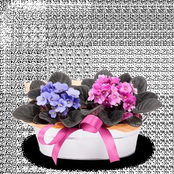 Cestino d'Allegria: 2 Violette Africane