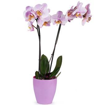 Venusküsschen: Rosa Orchidee
