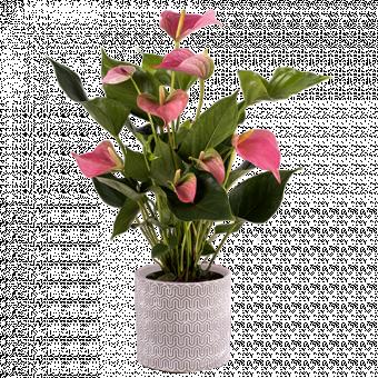 Счастливые сердца: розовый антуриум