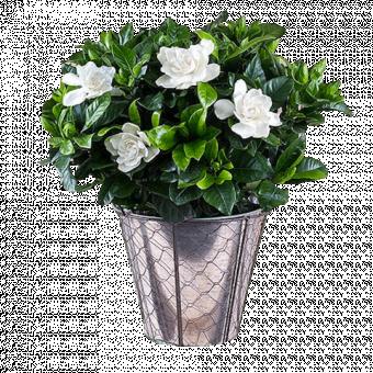 Des gardenias pour toi