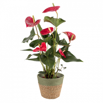 Rote Flamingoblume