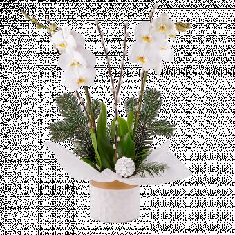 Stille Nacht: Weiße Orchidee