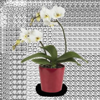 Großes Lächeln: Weiße Orchidee