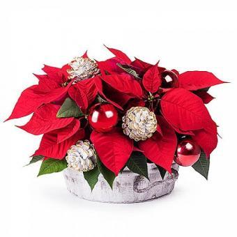 Stelle Propizie: Stelle di Natale in cestino