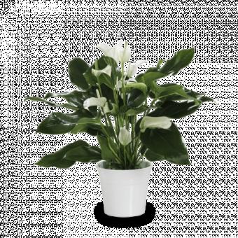 Zen Calm: White Anthurium