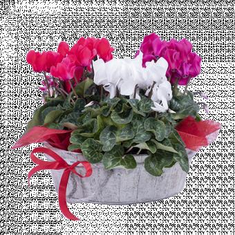Duendes: Cyclamen multicolor
