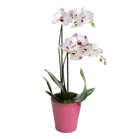 Orchidea Tigre Bianca