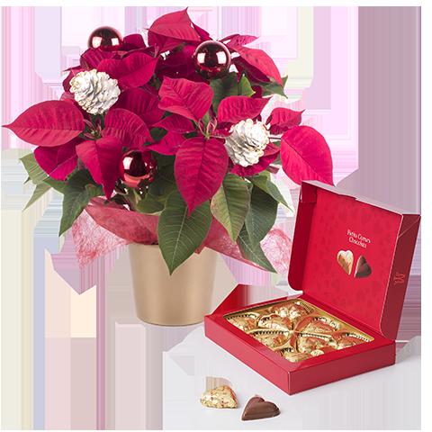 Süße Poinsettia