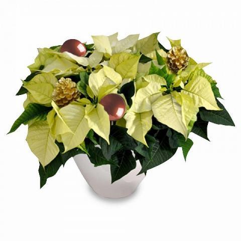 White Luxury Poinsettia