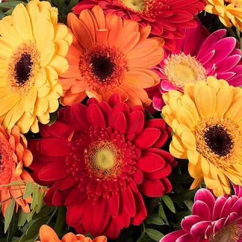 Arc-en-Ciel : Gerberas Multicolores