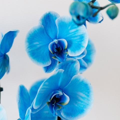 Orchidée Bleue : Océan