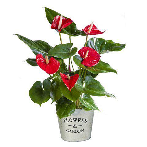 Anthurium Roja: Puesta de Sol