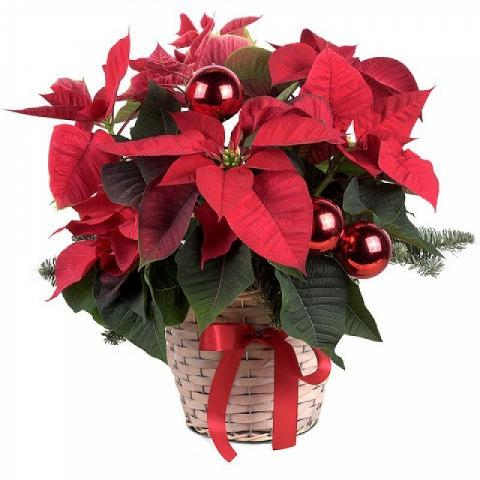 Christmas Smiles: Poinsettia