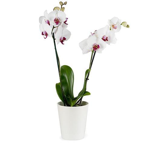 Классический роман: белая орхидея