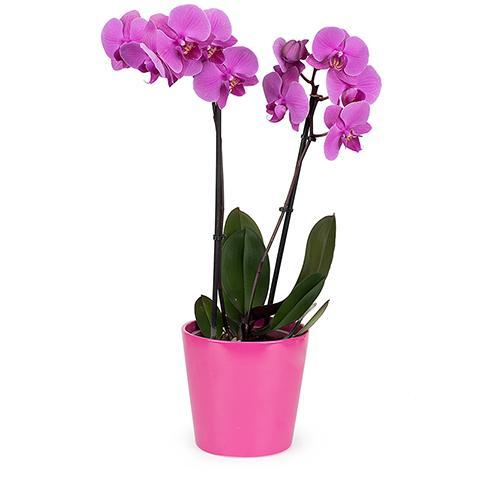 Orquídea Violeta: Tacto Sedoso