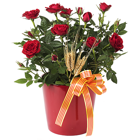 Rose Plant Sant Jordi