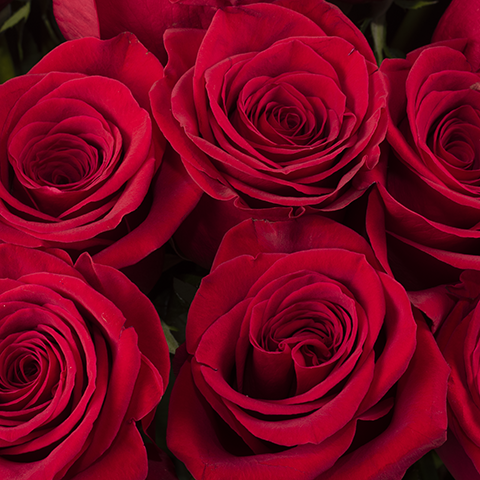 Passion infinie: 100 roses rouges