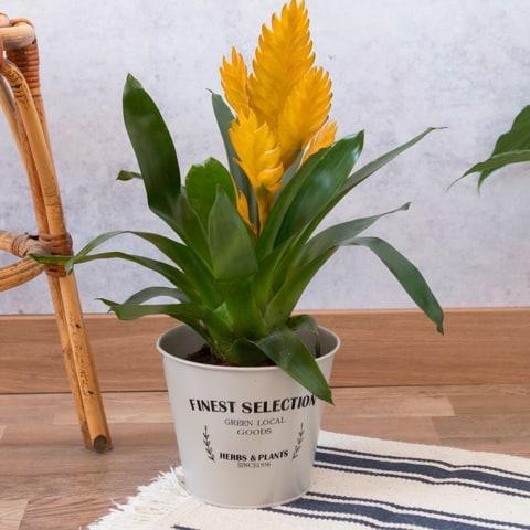 Bromelia Jaune : Paradis Tropical
