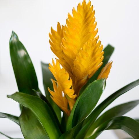 Солнечный рай: желтая бромелия