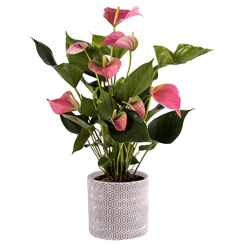 Anthurium Rose