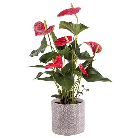Delicia Roja: anthurium