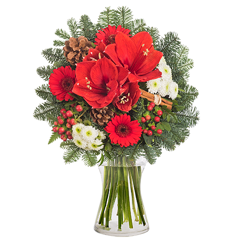 Tradition: Amaryllis rouges et Germinis