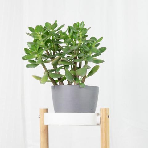 Plant Trio: Good Luck