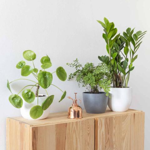 Air Purifying Plant Trio