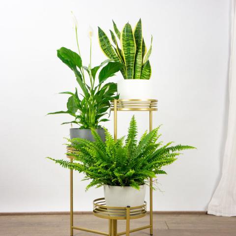 Trio de Plantas: Dulces Sueños