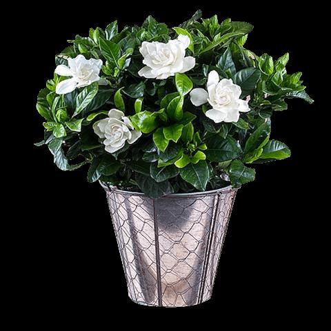 Gardenias para ti