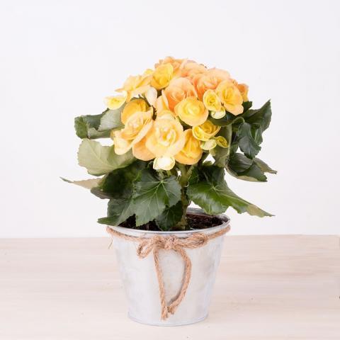 Begonia gialla in vaso metallico
