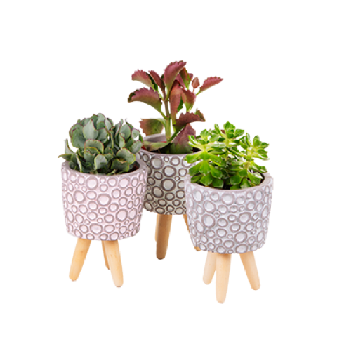 Set de Mini Succulentes