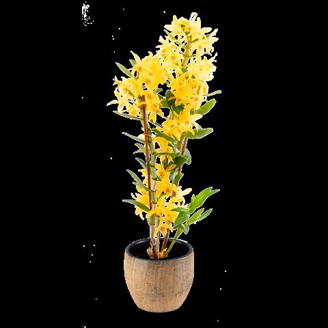 Dendrobium Nobile Gialla