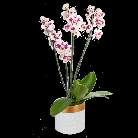 Orchidea Bianca con Sfumature Viola