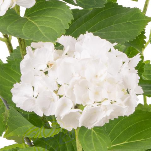 Hortensia Blanc