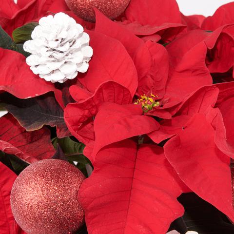 Spirito natalizio: Stella di Natale