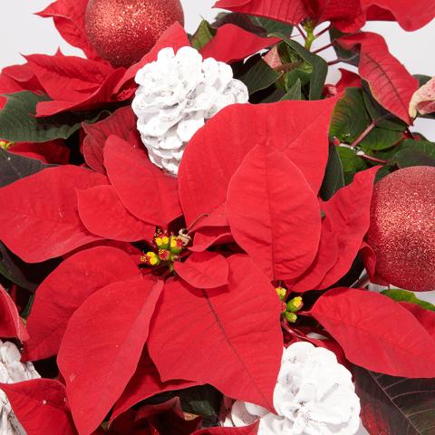 Natale Brillante: Cestino di Stella di Natale