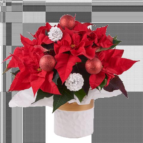 Esprit de Noël : Poinsettia
