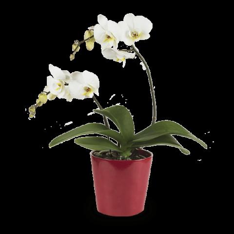 Luminoso Sorriso: Orchidea Bianca