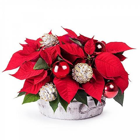 Christmas Magic: Poinsettia with Basket