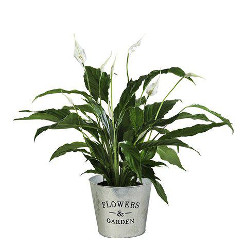 Spathiphyllum Blanca: Pura Brisa