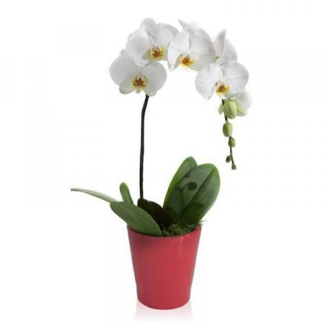 White Cascading Orchid