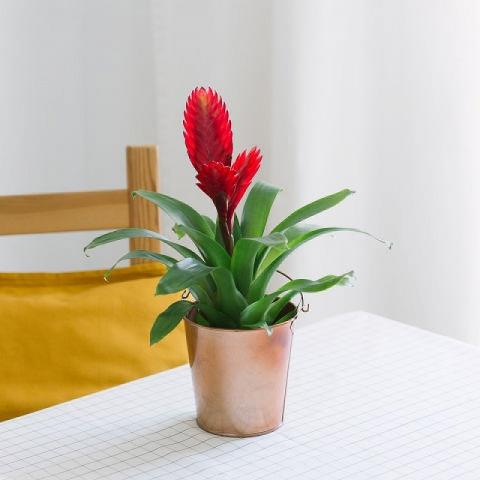 Flames of Passion: Bromelia