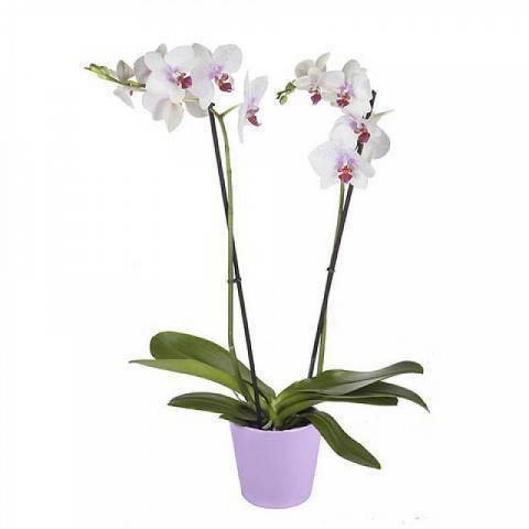 Tigerorchidee Weiss